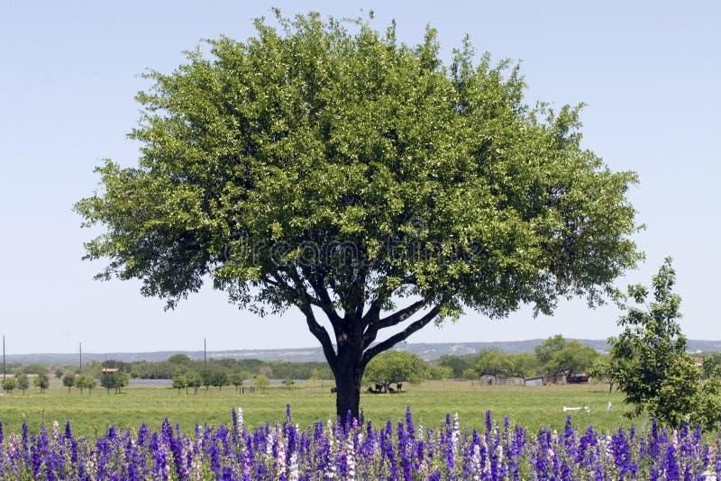 Campo de Rocket Larkspur delante del árbol imágenes de archivo libres de regalías