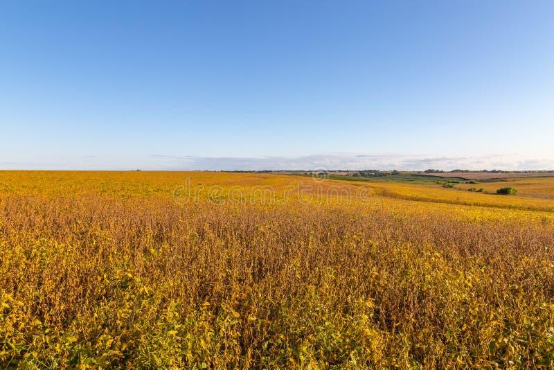 Campo de rolamento dos grãos de soja maduros prontos para a colheita fotografia de stock royalty free