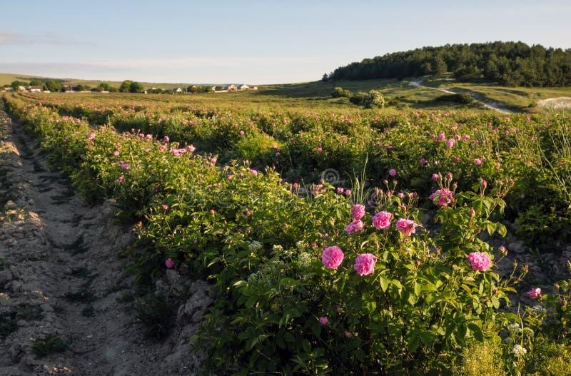 Campo de rosas de damasco cor-de-rosa de florescência foto de stock