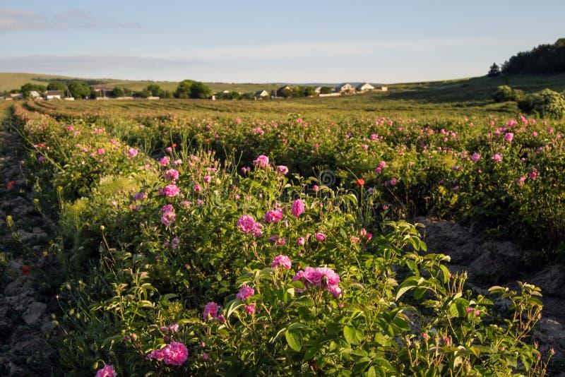 Campo de rosas de damasco cor-de-rosa de florescência imagens de stock