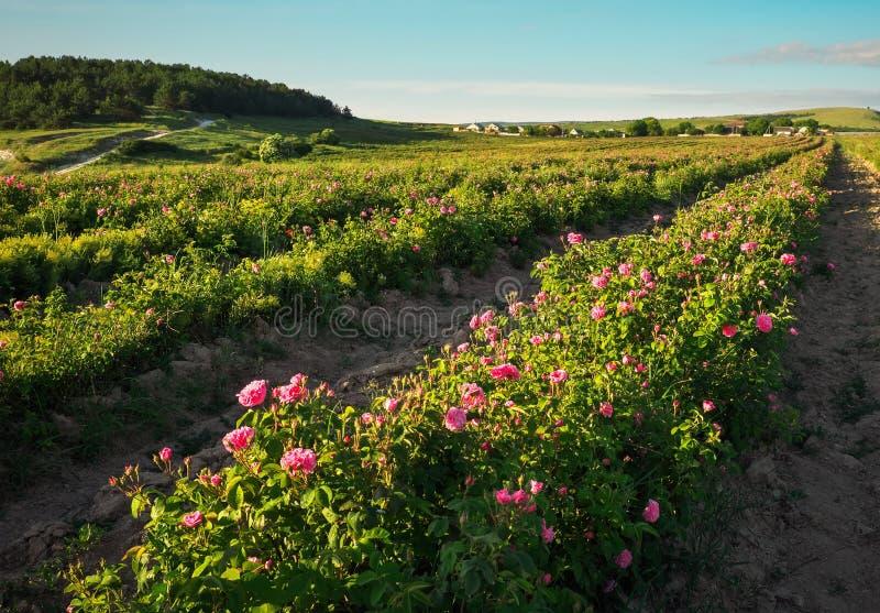 Campo de rosas de damasco cor-de-rosa de florescência fotos de stock royalty free