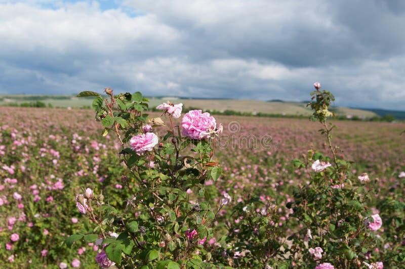 Campo de rosas de damasco cor-de-rosa de florescência em Bakhchisaray, Crimeia imagem de stock