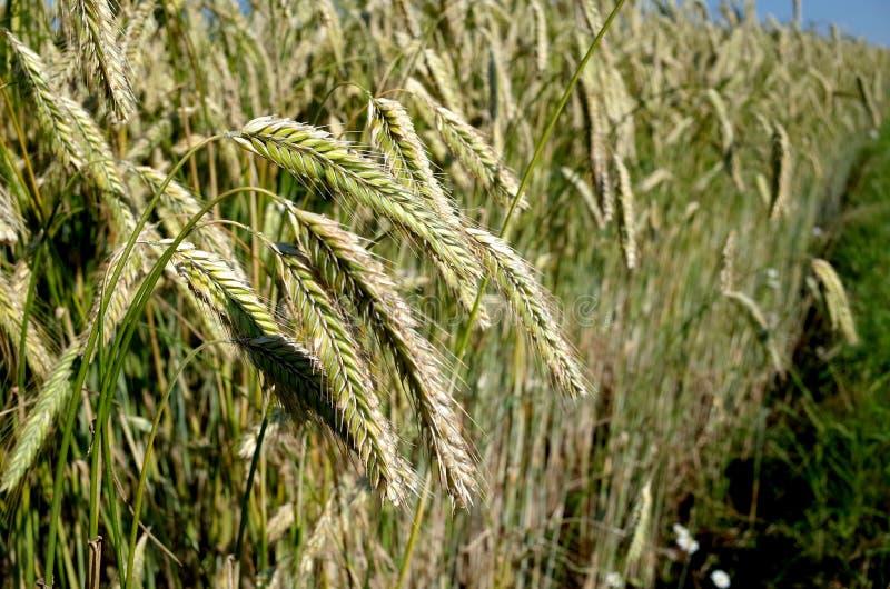 Campo de Rye Close up das orelhas de milho em um ryefield dinamarquês fotos de stock royalty free