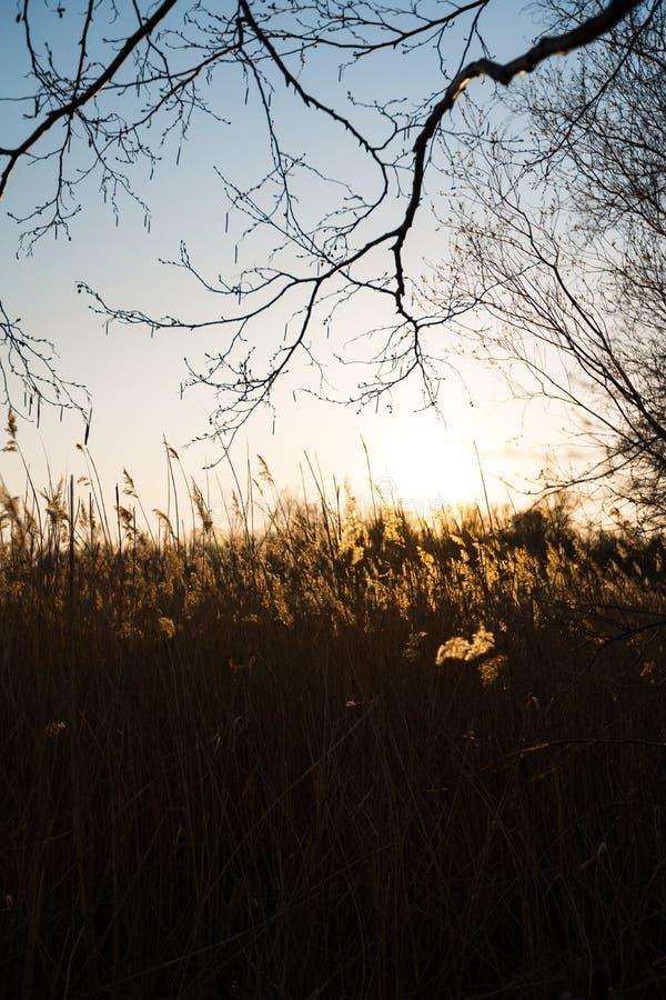Campo de Rye durante um por do sol com o sol bonito que shinning no fundo foto de stock