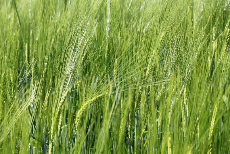 Campo de Rye na primavera fotos de stock