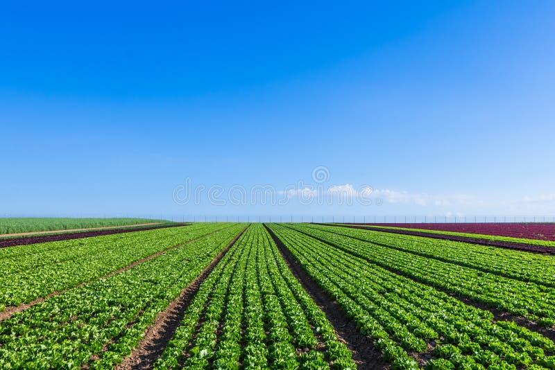 Campo de Salat com fileiras do salat fresco foto de stock