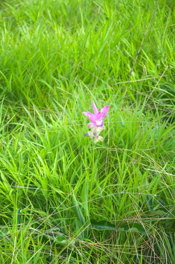Campo de Siam Tulip foto de stock