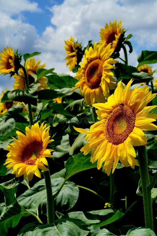 Campo de Sunflowers fotos de archivo libres de regalías