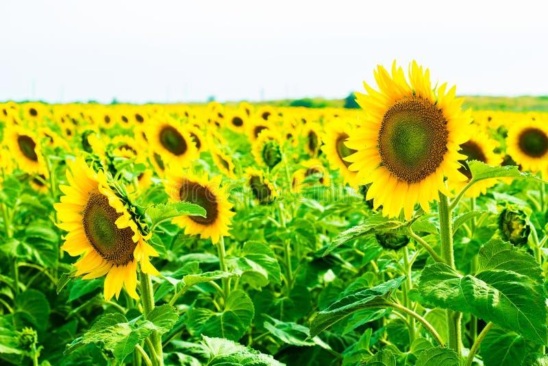 Campo de Sunflowers foto de stock royalty free