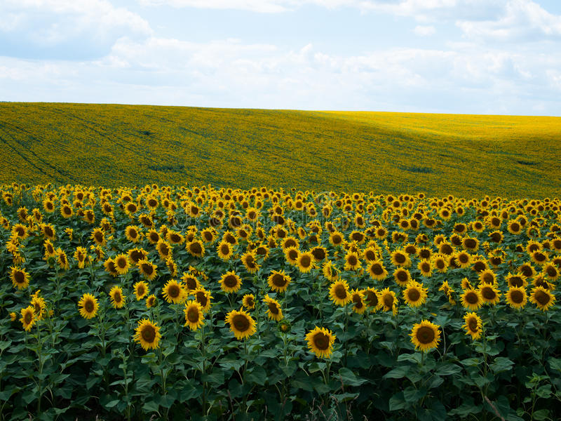 Campo de Sunflowers fotografia de stock royalty free