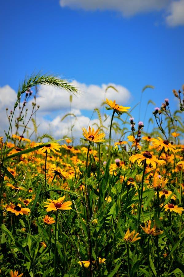 Campo de Susan Flowers de olhos pretos fotografia de stock
