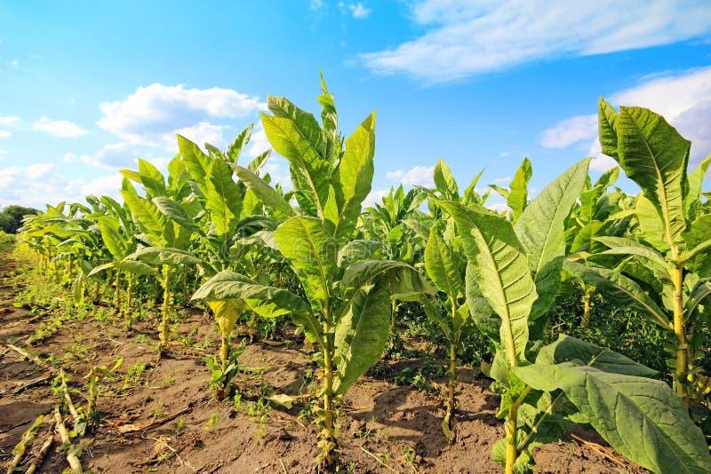 Campo de Tabacco imagem de stock