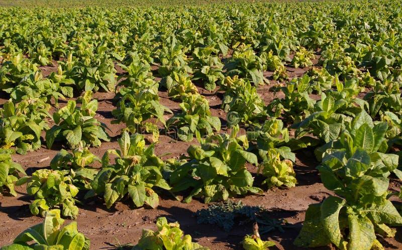 Campo de tabaco fotos de stock royalty free