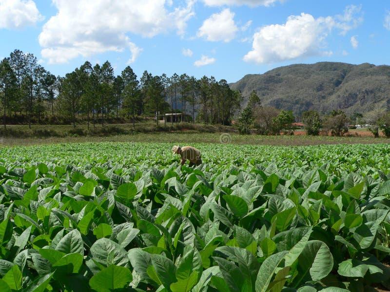 Campo de tabaco cubano fotografia de stock royalty free