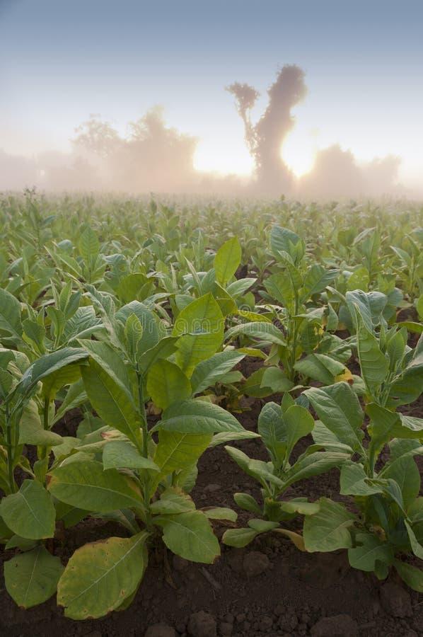 Campo de tabaco em Cuba foto de stock