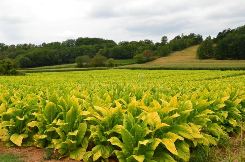 Campo de tabaco em Dordogne, França fotografia de stock