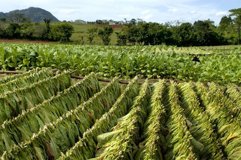 Campo de tabaco en Cuba fotografía de archivo