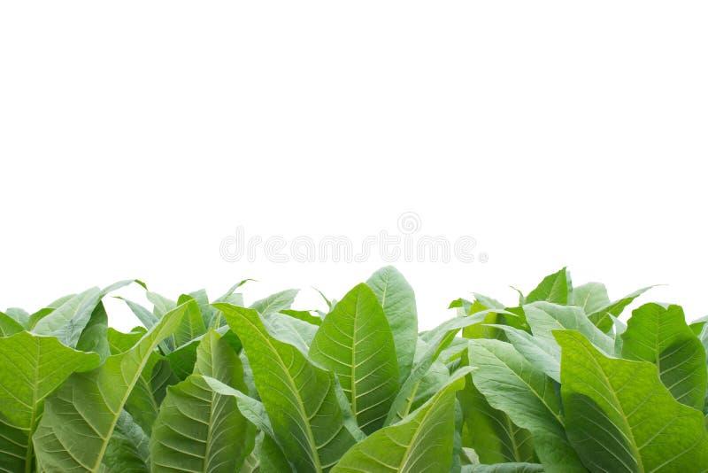 Campo de tabaco verde con el fondo blanco fotos de archivo libres de regalías
