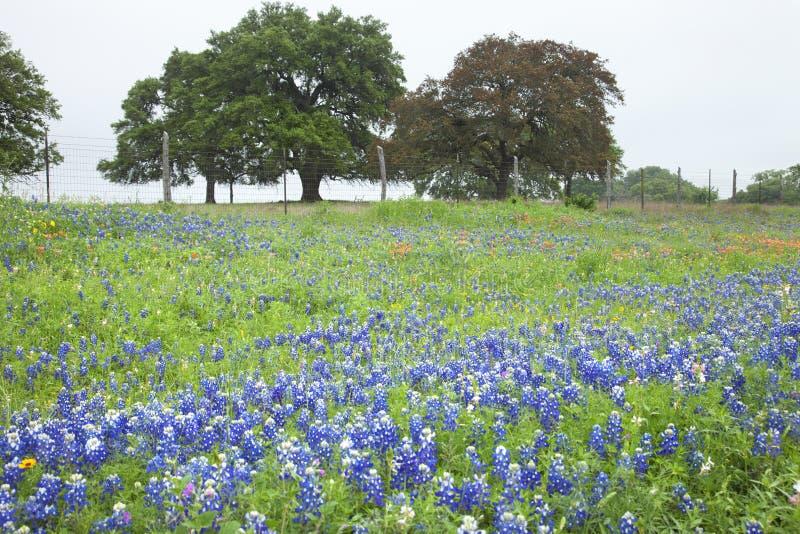 Campo de Texas Bluebonnets e de outros wildflowers com árvores fotos de stock