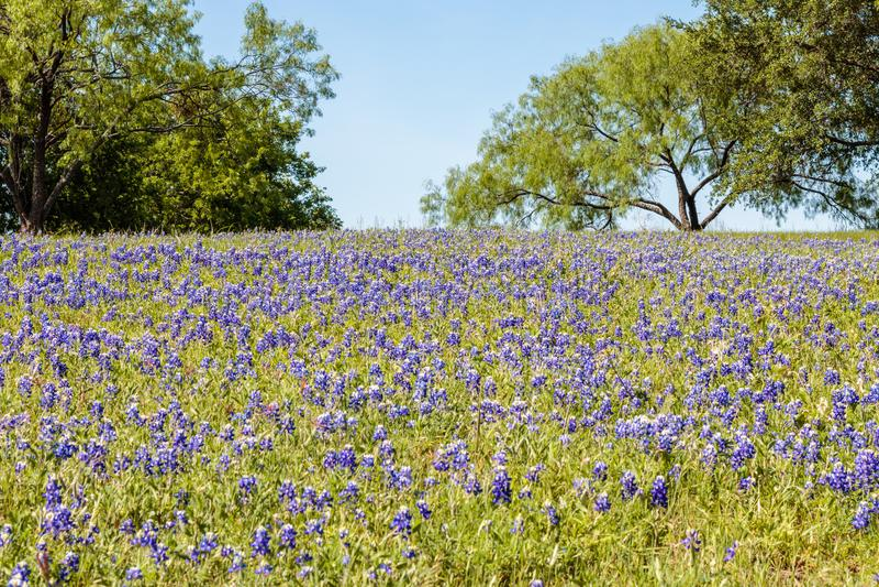 Campo de Texas Hill Country Bluebonnets foto de archivo
