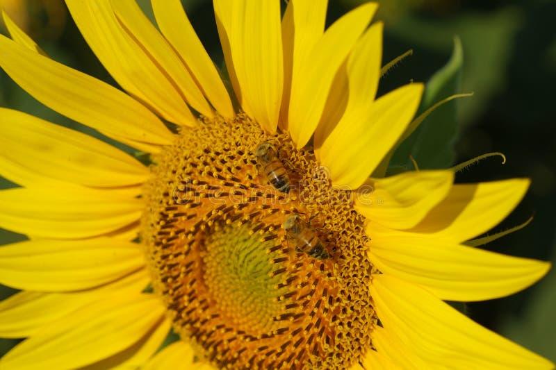Campo de Toscana en verano imagenes de archivo