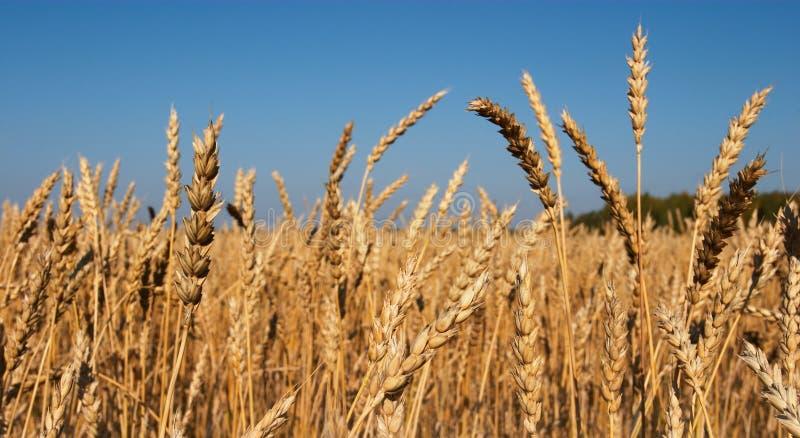 Download Campo de trigo imagen de archivo. Imagen de germen, cereal - 1285301