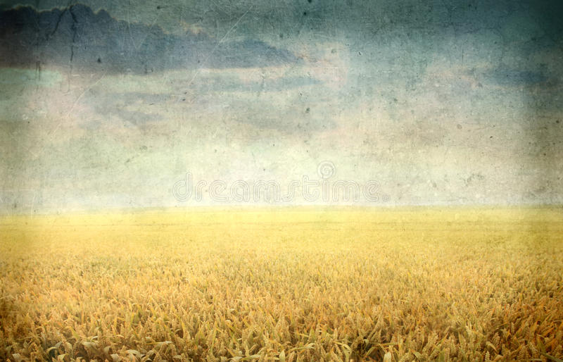 Campo de trigo imagem de stock