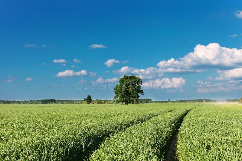 Campo de trigo. fotos de stock