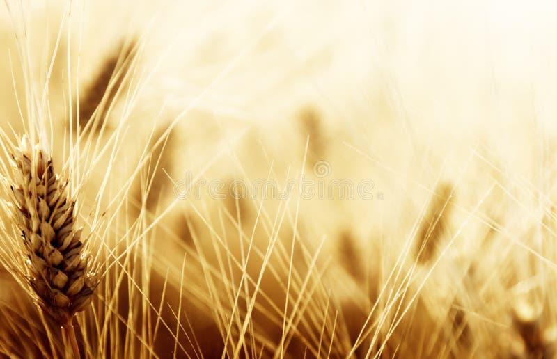 Campo de trigo imágenes de archivo libres de regalías