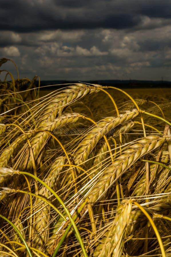 Download Campo de trigo imagen de archivo. Imagen de alimento - 44854831
