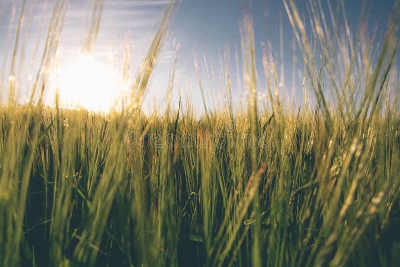 Campo de trigo 4 fotografía de archivo libre de regalías