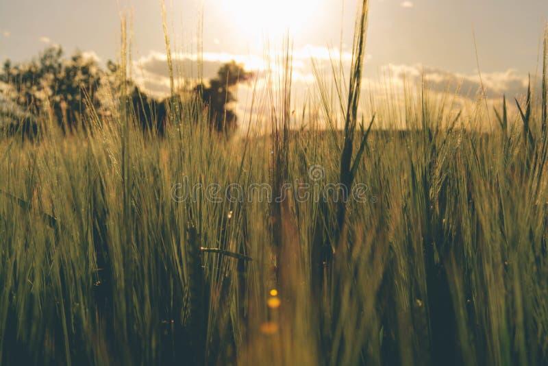 Campo de trigo 5 foto de archivo libre de regalías