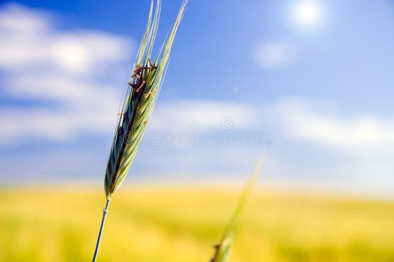 Campo de trigo. Agricultura imagem de stock
