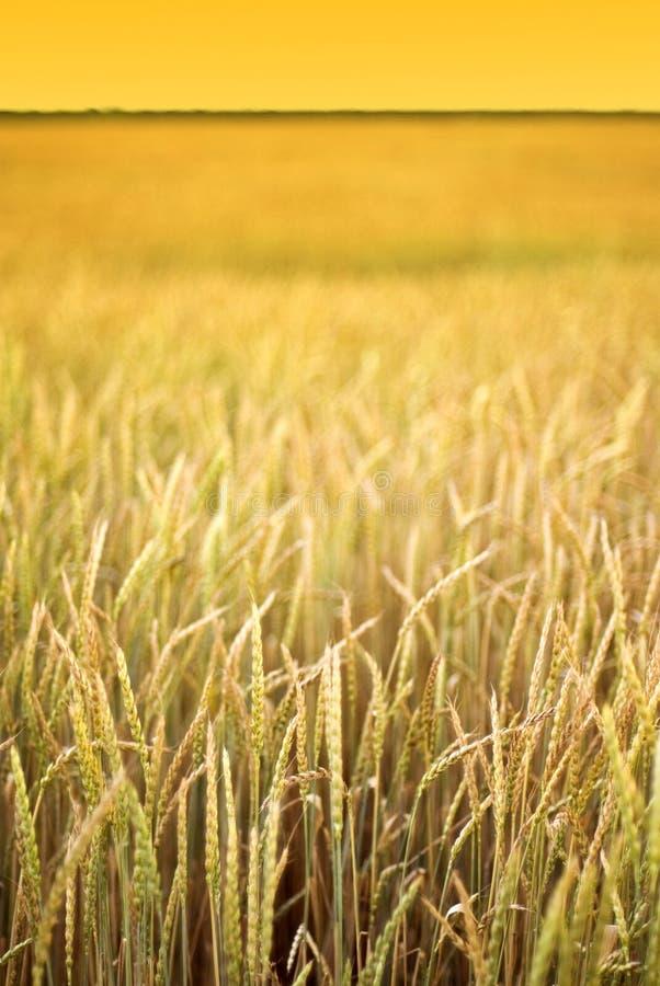 Campo de trigo amarillo fotografía de archivo