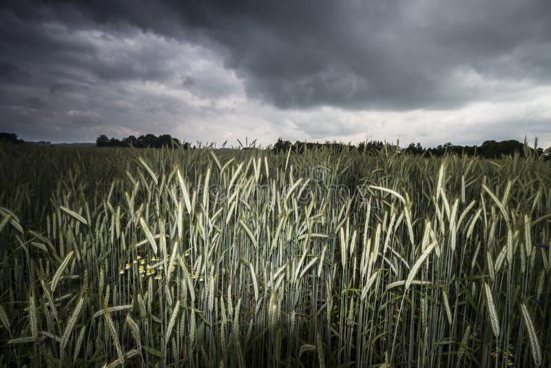 Campo de trigo antes da tempestade fotografia de stock