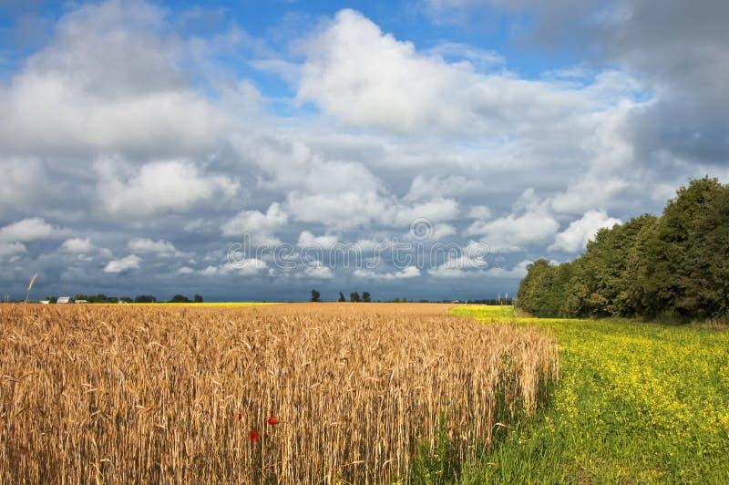 Campo de trigo antes de cosechar. foto de archivo libre de regalías