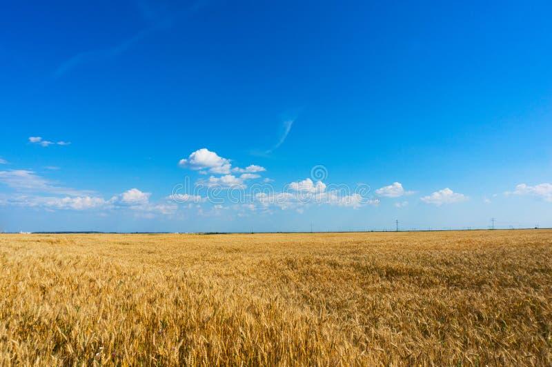 Campo de trigo antes de la cosecha foto de archivo