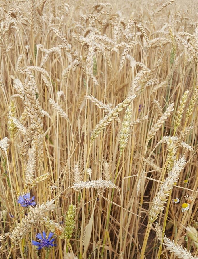 Campo de trigo asoleado imagen de archivo