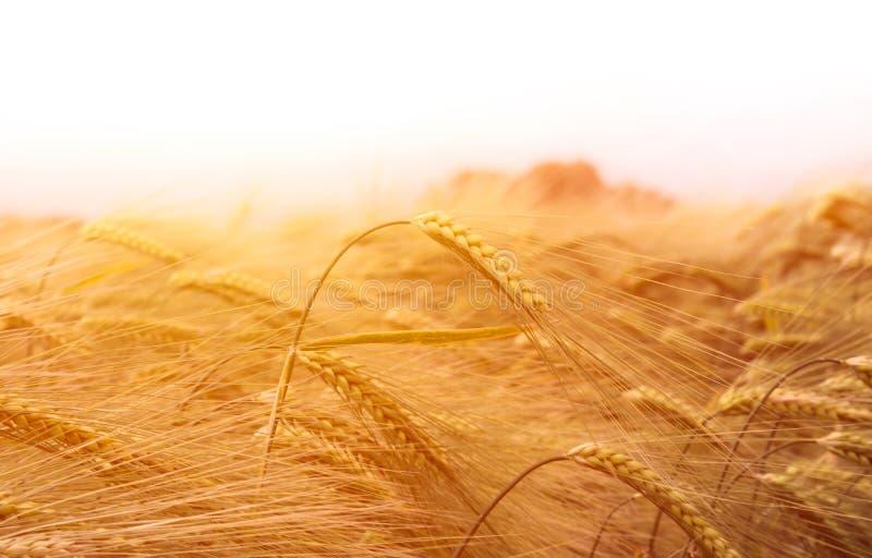 Campo de trigo bajo el sol imagen de archivo libre de regalías