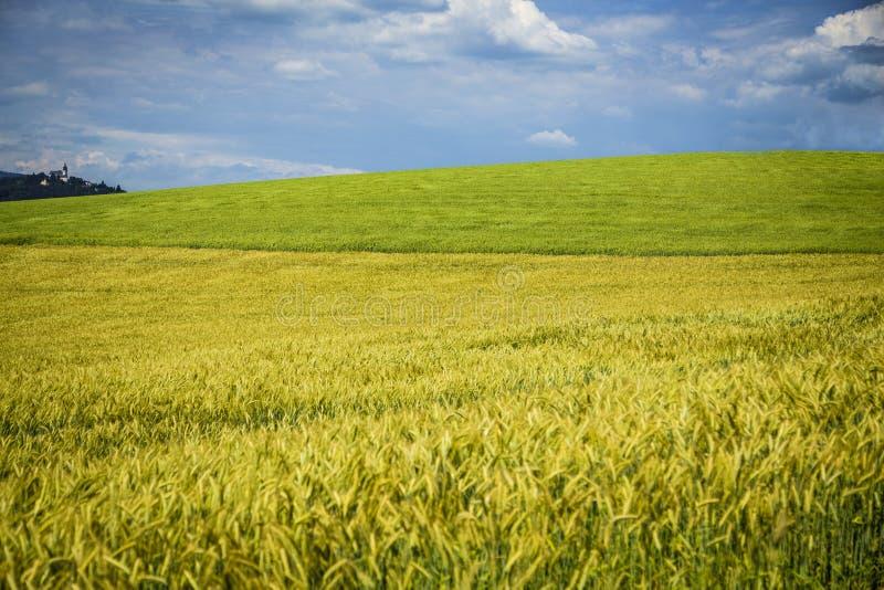 Campo de trigo bonito com testes padrões e formações durante o verão com nuvens de surpresa fotos de stock royalty free