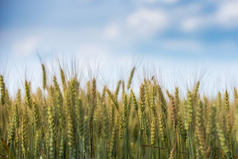 Campo de trigo, céu azul foto de stock