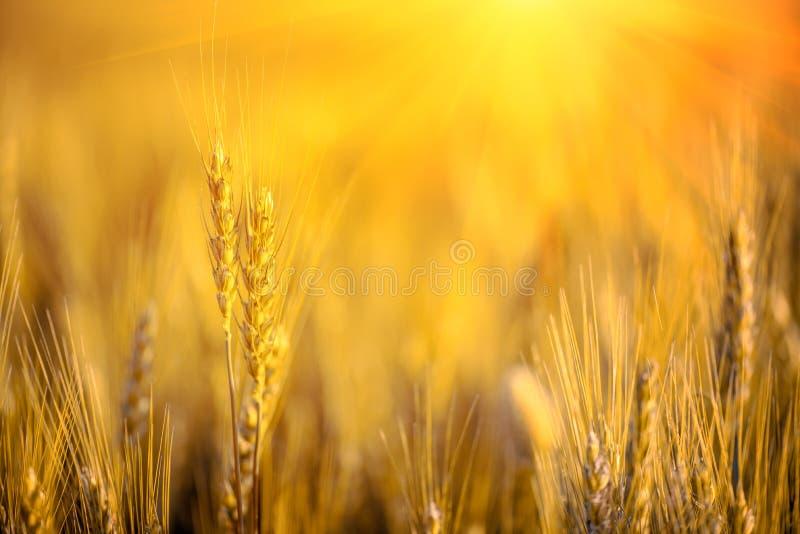 Campo de trigo Ciérrese encima de los oídos del trigo del oro en puesta del sol Foco suave Concepto de la cosecha fotografía de archivo libre de regalías
