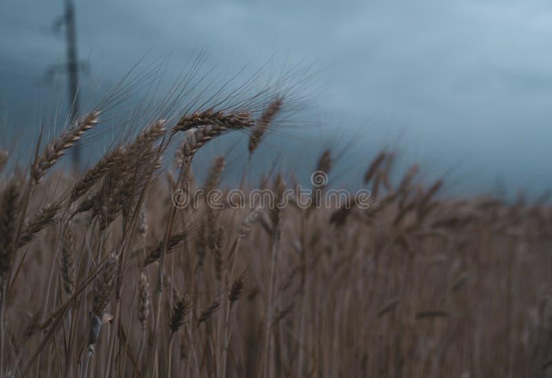 Campo de trigo Close-up horas de verão do clima de tempestade imagens de stock royalty free