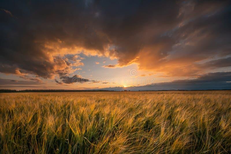 Campo de trigo Colhendo o tema fotografia de stock