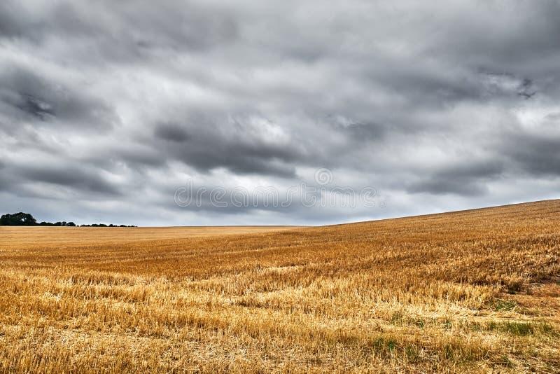 Campo de trigo colhido largamente aberto debaixo de um céu cinzento, nublado foto de stock