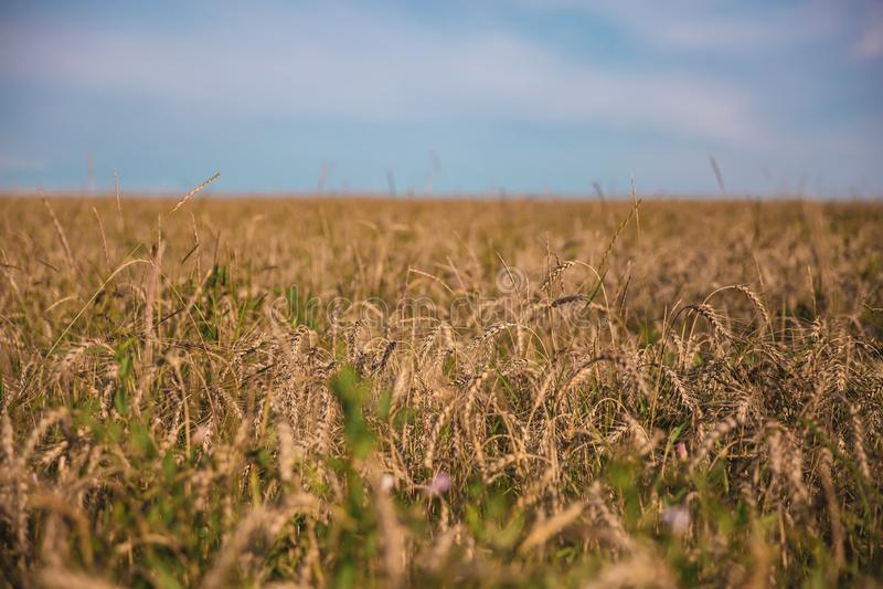 Campo de trigo com estrada, grama e céu fotografia de stock royalty free