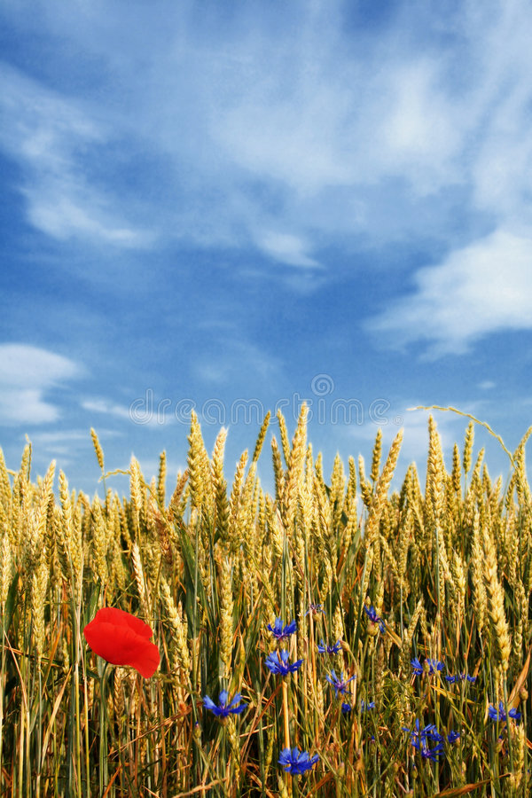 Campo de trigo com flores foto de stock royalty free