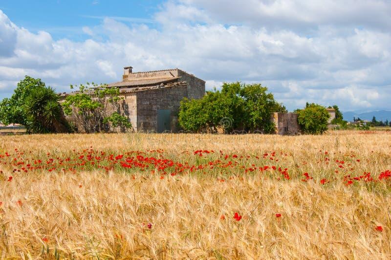 Campo de trigo com papoilas fotos de stock