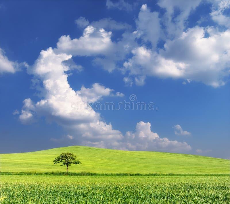 Campo de trigo con el árbol solitario y el cielo azul fotografía de archivo