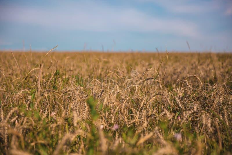 Campo de trigo con el camino, la hierba y el cielo fotografía de archivo libre de regalías